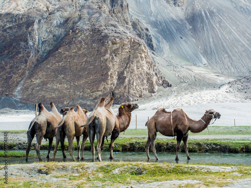 Bactrain Camel with Mountain Background