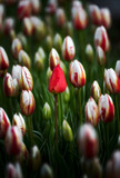 Red tulip and Canada 150