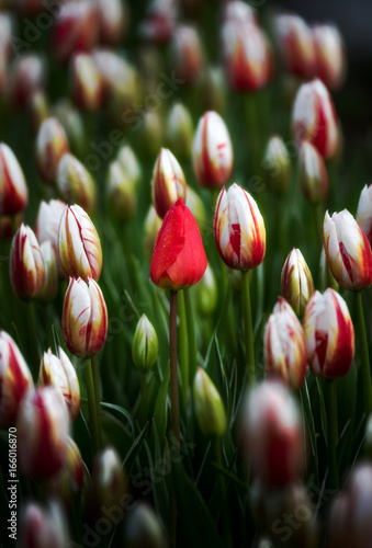 Red tulip and Canada 150 Poster