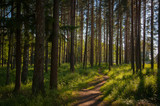 footpath to a pine forest - 166018086