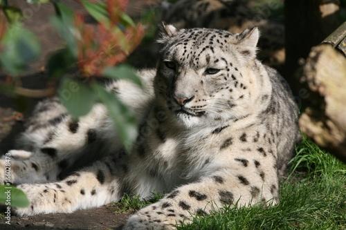 Fototapeta léopard