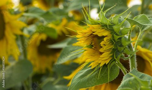 Sunflower flower, oil improves skin health and promote cell regeneration