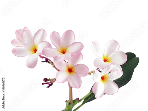 Fotobehang Plumeria close up pink plumeria or frangipani flower isolated on white background, tropical flowers bloom summer