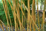 Bambous verts et jaunes au jardin en été