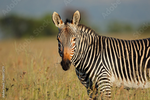 Portrait of a Cape mountain zebra (Equus zebra), Mountain Zebra National Park, South Africa.