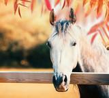 Pi? Kny szary g? Owy konia na ogrodzenie wybiegiem na jesieni charakter tle kolorowych li? Ci spadek