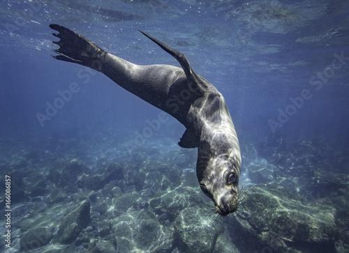 Fototapeta Galapagos Seelöw spielt unterwasser, Galapagos, Pazifik