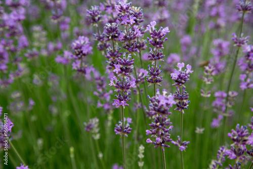 Keuken foto achterwand Lavendel Lavande