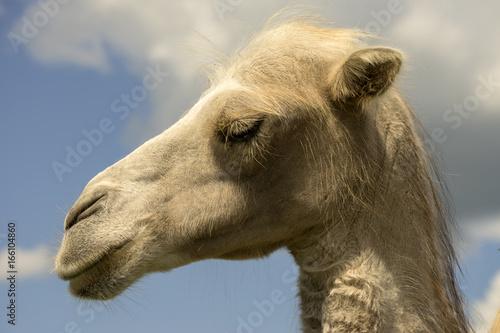Белый верблюд.