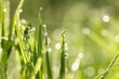 green grass with dew drops in sunlight on a summer meadow