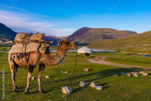 In de dag Kameel Kamel vor Ger Jurte in der Mongolei