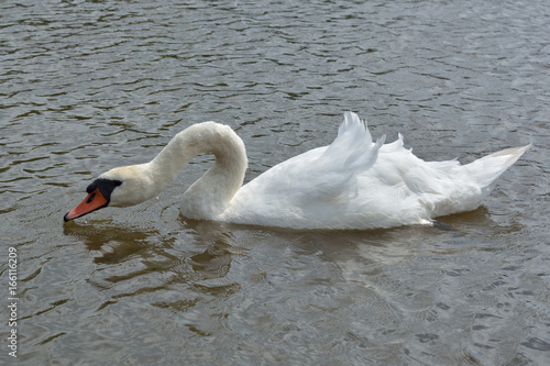 Schwan auf Wasser