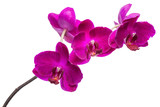 blooming  beautiful twig of violet orchid, phalaenopsis isolated on white background, close up