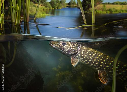 obraz lub plakat Underwater Pike.