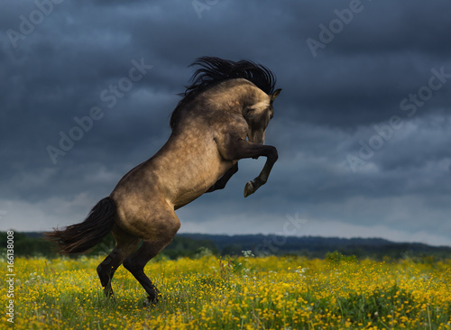 Purebred Andalusian horse rear on meadow with dramatic overcast skies