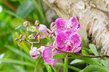 Purple orchids flower blossom in a garden,Decorative flowers