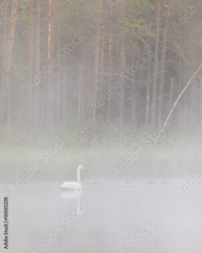 Swan swimming in foggy forest pond