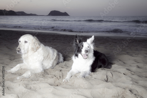 Border Collie and Golden Retriever on the Beach Poster