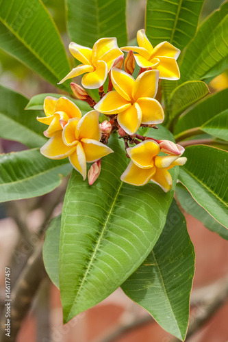 bouquet de frangipanier