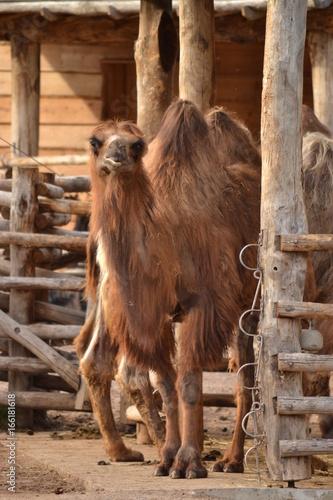 kamel guckt
