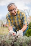 Senior man in his garden. He is pruning plants.  - 166182206