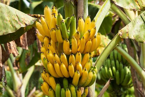 canvas print picture Bananenbaum
