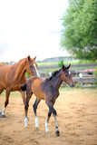 beautiful foal walks together with the mother - 166190884