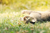 Cat lying in grass and playing. Plenty of copy space