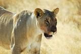 Lwy na sawannie, Etosha National Park, Namibia