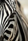Zebra close-up in the Etosha National Park, Namibia