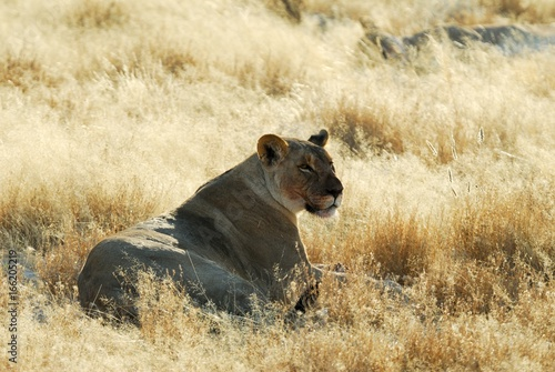 Foto op Aluminium Lion Lions in the savannah, Etosha National Park, Namibia