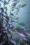 Fish swarm and coral reef at Galapagos Isands, Pacific