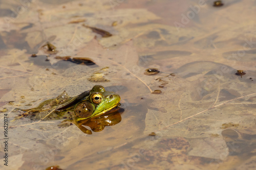 Frog on leaves in pond