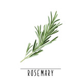 Rosemary herb and spice vector illustration. Rosemary branch - 166222291