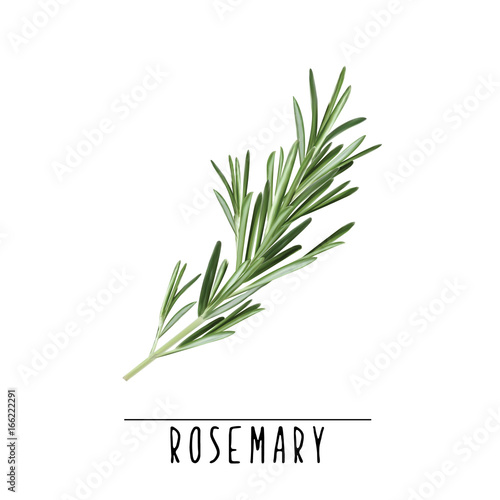 Rosemary herb and spice vector illustration. Rosemary branch