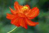 Red Cosmea Sunrise- Cosmea sulphureus