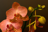 Purple and white orchid on dark background