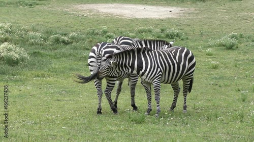 zebras feed in the grassland