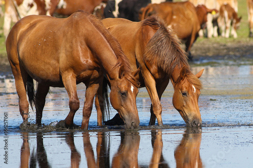 Two wild sorrel horses drinking water