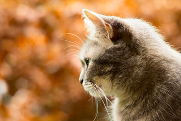 Furry gray cat on an autumn background