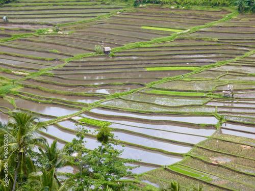 culture de riz en terrasse à Bali