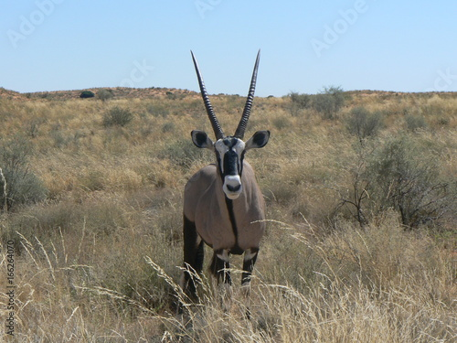 South africa oryx antylope
