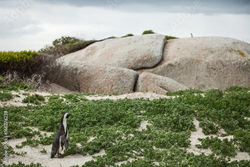 Penguin Exploring Rocks - 1 Poster
