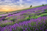 Blooming lavender fields in Poland, beautfiul sunrise - 166288075