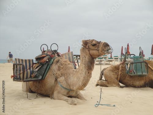 Dromadaire à Fuerteventura