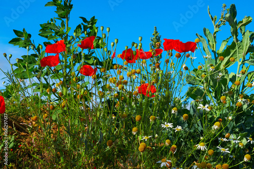 Red poppies on blue sky