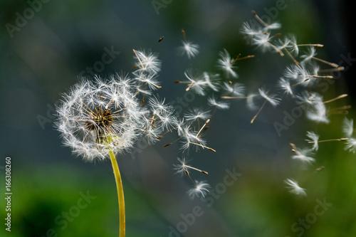 Fotobehang Paardebloemen Blown dandelion clock