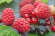 Quadro Raspberries, blueberries, gooseberries, leaves are macros