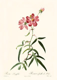 Old illustration of Rosa longifolia. Created by P. R. Redoute, published on Les Roses, Imp. Firmin Didot, Paris, 1817-24 - 166331268