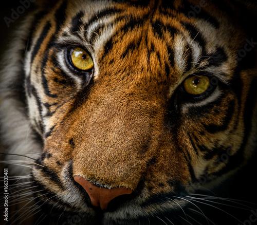 Fotobehang Tijger Sumatran Tiger